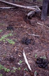 Bear scat (possible black) along Firehole Lake Drive Photo