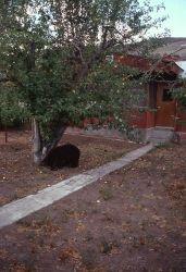 Black bear eating apples in Linda & Tom Tankersley's yard in Gardiner, Montana Photo