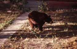 Black bear with apple in its mouth in Linda & Tom Tankersley's yard in Gardiner, Montana Photo