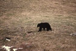 Black bear walking near Phantom Lake Photo