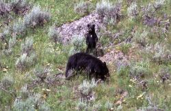 Black bear with cub near Pebble Creek Photo