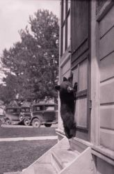 Barney the black bear cub on screen door - raised by chief naturalist Dorr Yeager Photo