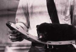 Barney the black bear cub on snowshoe - raised by chief naturalist Dorr Yeager Photo