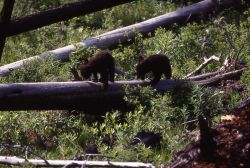 Two black bear cubs near Tower Photo