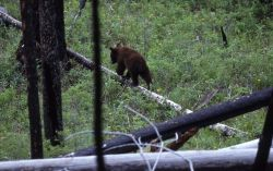 Black bear cub near Tower Photo