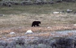 Black bear near Junction Butte Photo