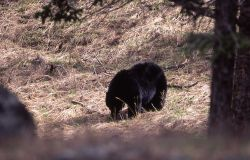 Black bear eating grass Photo