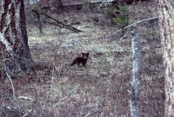 Black bear cub near Rainy Lake Photo