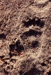 Black bear paw prints Photo