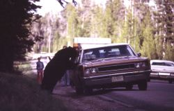 Black bear fed from a car Photo
