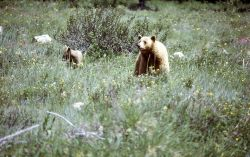 Black bears Photo