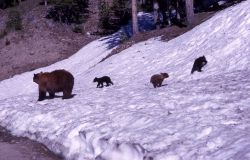 Black bear & cubs on snowy river bank Photo