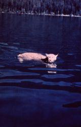Lynx swimming in lake in Glacier National Park Photo