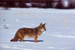 Coyote in snow Photo
