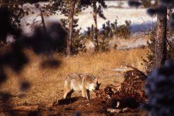 Coyote on bison skeleton Photo