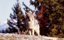 Coyote in Yellowstone Lake area Photo