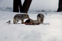 Coyote on elk carcass Photo