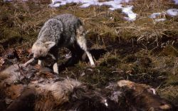 Coyote on elk carcass near Obsidian Cliff Photo