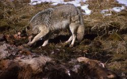 Coyote on elk carcass near Obsidian Cliff Photo