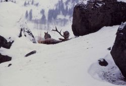 Coyote on elk carcass in winter Photo