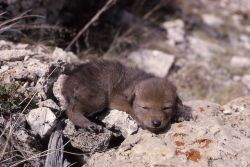 Coyote pup Photo