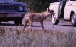 Coyote begging Photo