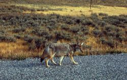 Roadside coyote Photo