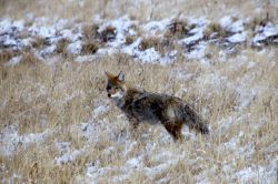Coyote mousing Photo