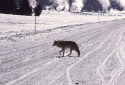Coyote on road in winter Photo