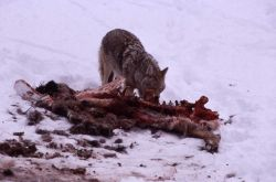 Coyote feeding on elk carcass in snow Photo
