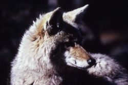 Close up of coyote face Photo