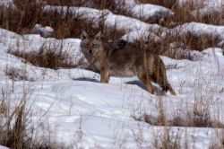 Coyote standing in snow Photo
