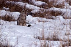 Coyote sitting in snow Photo