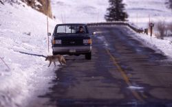 Coyote and pickup in Lamar Valley at Soda Butte Creek in winter Photo