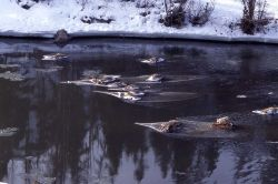 Coyote on elk carcasses - 14 elk fell through ice on Lamar River Photo