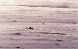 Coyote in snow at Soda Butte Photo
