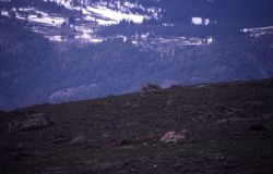 Coyote howling at Blacktail Plateau Photo