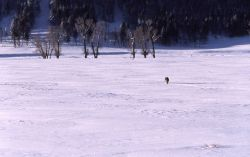 Coyote in Lamar Valley in winter Photo
