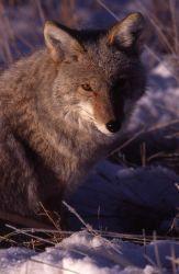Coyote in Lamar Valley in winter Photo