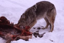 Coyote on elk carcass in winter in Lamar Valley Photo