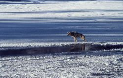 Coyote in winter in Lamar Valley Photo