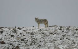Coyote near Soda Butte Creek Photo