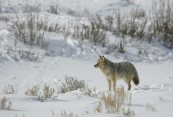Coyote in Lamar Valley Photo
