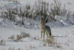 Coyote howling in Lamar Valley Photo