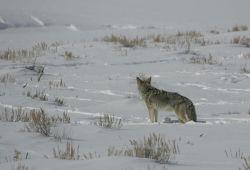 Coyote in Lamar Valley Photo
