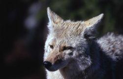 Coyote Photo