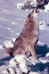 Coyote howling in snow Photo