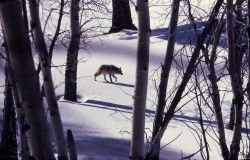 Coyote walking in snowy meadow Photo