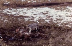 Coyote on a carcass Photo