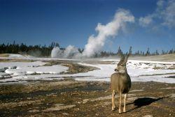 Mule deer Photo